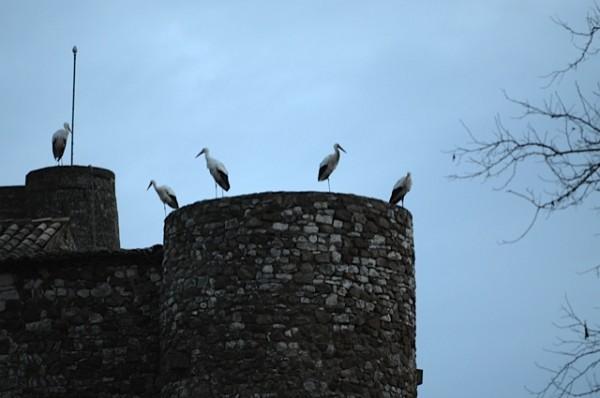 Cigognes sur une des tours du château de La Capelle