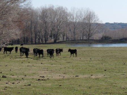 Manade près de l'étang