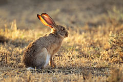 http://www.dreamstime.com/stock-photos-scrub-hare-image37637453